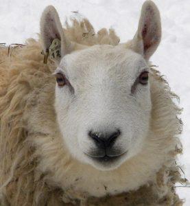Cheviot Ewe - Photo by Rich Fitz